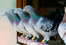 Homing Pigeon Perching In Home...
