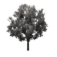 Bradford Pear Tree In The Spri...