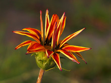 Autumn Orange Gazania