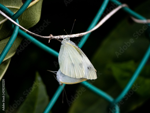 pair of small white butterflies connected on a vine 1