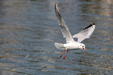 Portrait Of Natural Common Black-headed Gull (Larus Ridibundus)