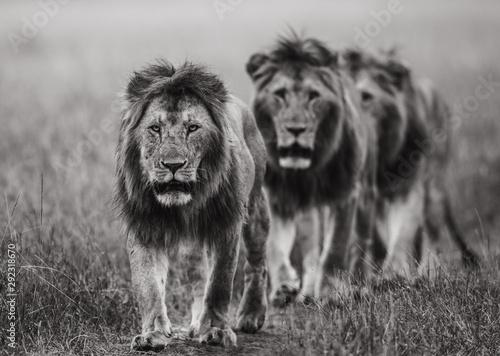 Fototapeta Three male lions obraz na płótnie
