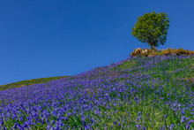 Summer Meadow Full Of Bluebells And Tall Tree Blue Sky