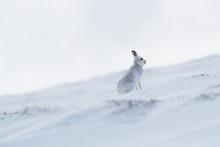 Wild Mountain Hare On Smow Covered Mountain