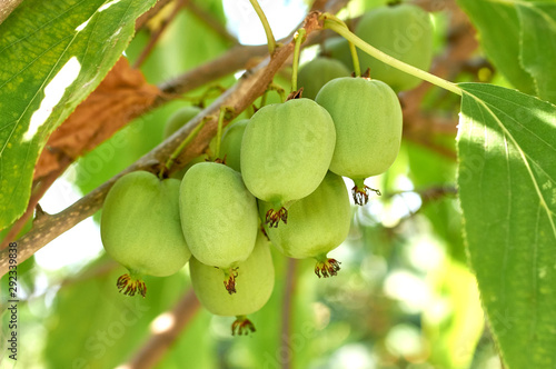 Photo ripe vitamin fruit berry delicious actinidia (kiwi)