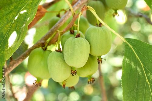 Photo ripe vitamin fruit berry delicious actinidia (kiwi)