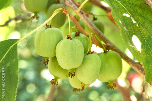 ripe vitamin fruit berry delicious actinidia (kiwi) Wallpaper Mural