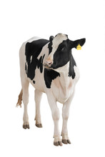 Black - White Cow Isolated On A White Background.