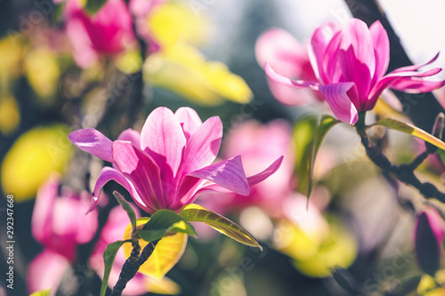 magnolia flower in the park on dark background Wallpaper Mural