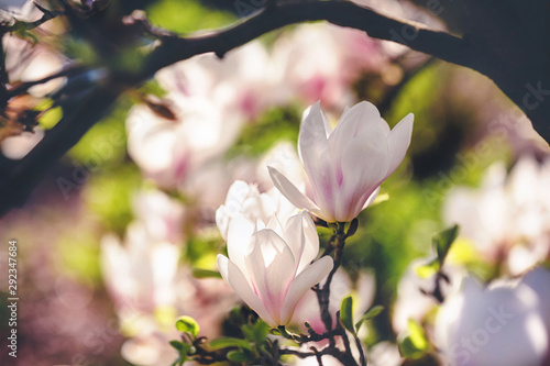 magnolia flower in the park on dark background Canvas Print