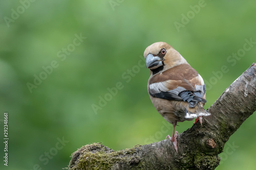 Cuadros en Lienzo Hawfinch (Coccothraustes coccothraustes) on a branch in the forest of Noord Brabant in the Netherlands