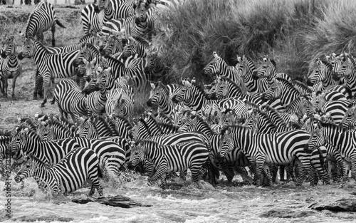 Poster de jardin Zebra herd of zebras