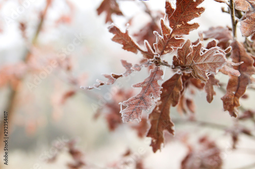 Fotomural  Oak tree deciduous frosted leaves