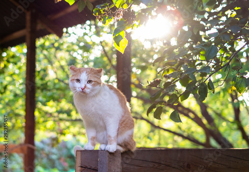 Fotografía Cute orange and white cat sitting outdoors at the sunset