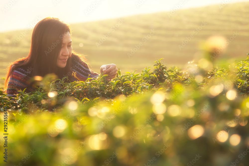 Fototapeta Asian worker farmer women were picking tea