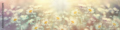 Photo sur Toile Fleuriste Selective and soft focus on daisy flower in meadow, beautiful nature in spring
