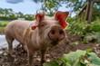 canvas print picture - Glückliches Bio-Ferkel mit Schlappohren auf einem Bauernhof