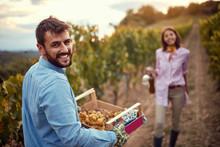 Grape Vineyard Fields. Grape Harvesting. Smiling Man Harvesting Grapes On Vineyard.