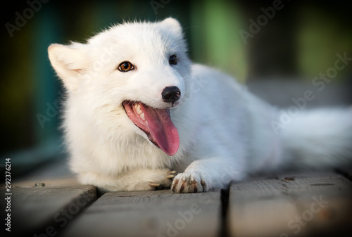 polar fox lies on a wooden background