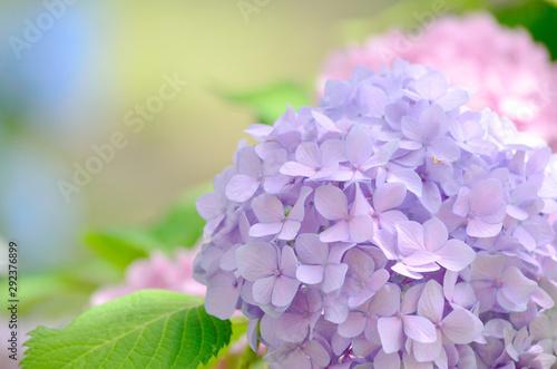 Fototapeta light purple hydrangea flowers in park