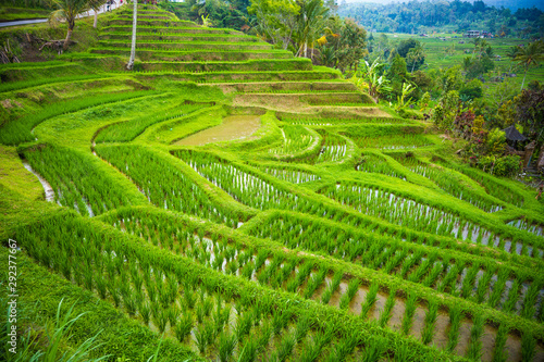 La pose en embrasure Les champs de riz Rice terraces in mountains, Bali Indonesia