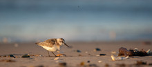 Sanderling On New England Beach