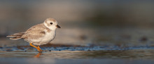 Piping Plover On New England Beach