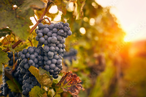 Blue grapes at sunset in autumn vineyard Fototapet