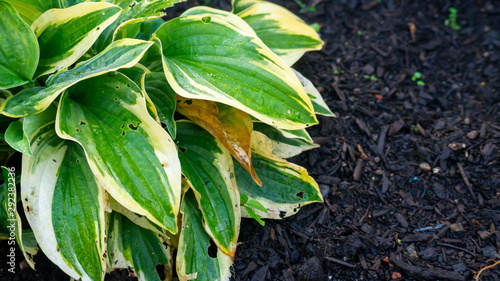 Hosta Mama Mia Plant, showing holes from where snails have eaten the leaves Canvas Print