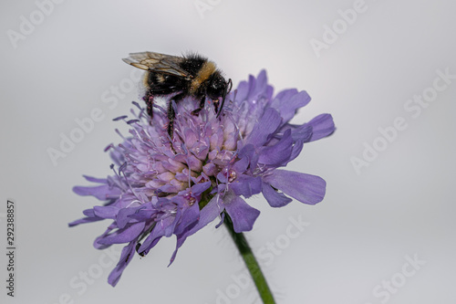 Fotografie, Tablou  Bumblebee collecting pollen from a wild purple flower