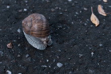 A Land Snail Hiding In A Shell On A Cloudy Evening