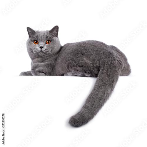 Valokuvatapetti Impressive light blue young adult British Shorthair female cat, laying down side ways