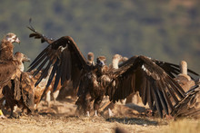 European Vulture Black In Nature