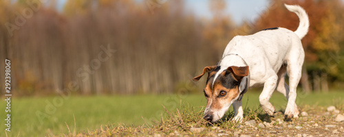 Fototapeta Small purebred Jack Russell Terrier Hound. Cute dog is fallowing a track in autumn obraz
