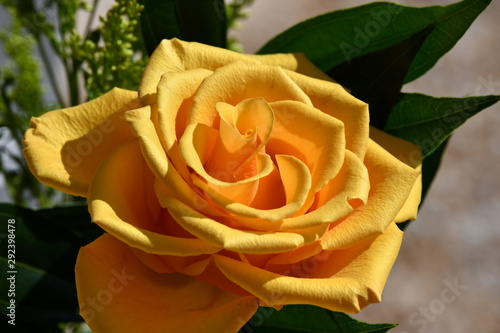 Yellow Rose (two)