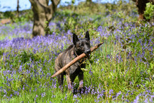 Beautiful Dog In Bluebells Fet...