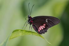 Cattle Heart Butterfly On Leaf