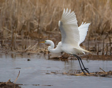 Close Up Of White Great Egret ...