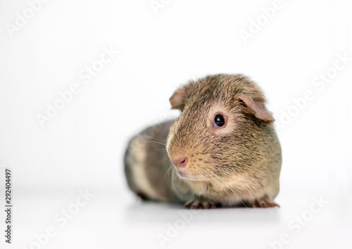 An agouti American Guinea Pig on a white background Canvas Print
