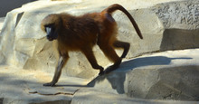Baboons Are Old World Monkeys Belonging To The Genus Papio, Part Of The Subfamily Cercopithecinae Which Are Found Natively In Very Specific Areas Of Africa And The Arabian Peninsula