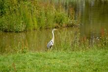 Grey Heron Standing By A Riverbank In Kent Uk