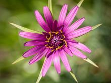Heart Of A Purple Common Salsify Or Oyster Plant (Tragopogon Porrifolius)