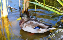 The Mallard Is A Dabbling Duck...