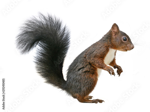 Cuadros en Lienzo Red squirrel (Sciurus vulgaris), isolated on white background
