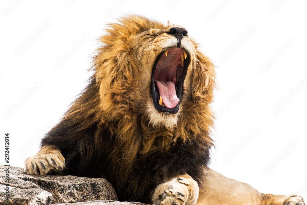 Fototapeta Yawning / Roaring lion against white background