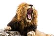 Yawning / Roaring lion against white background