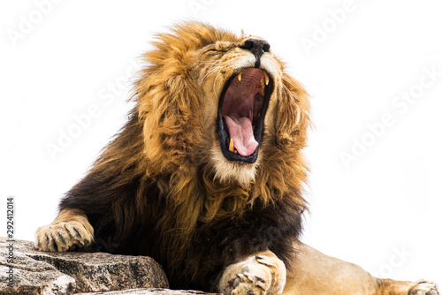 Foto op Plexiglas Leeuw Yawning / Roaring lion against white background