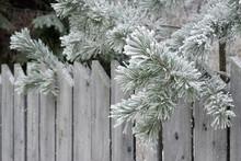 Rustic Winter Scene. Pine Bran...