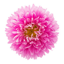 Pink Aster Flower Isolated On ...