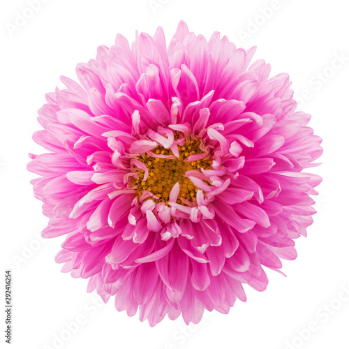 Photo Pink aster flower isolated on white background, top view